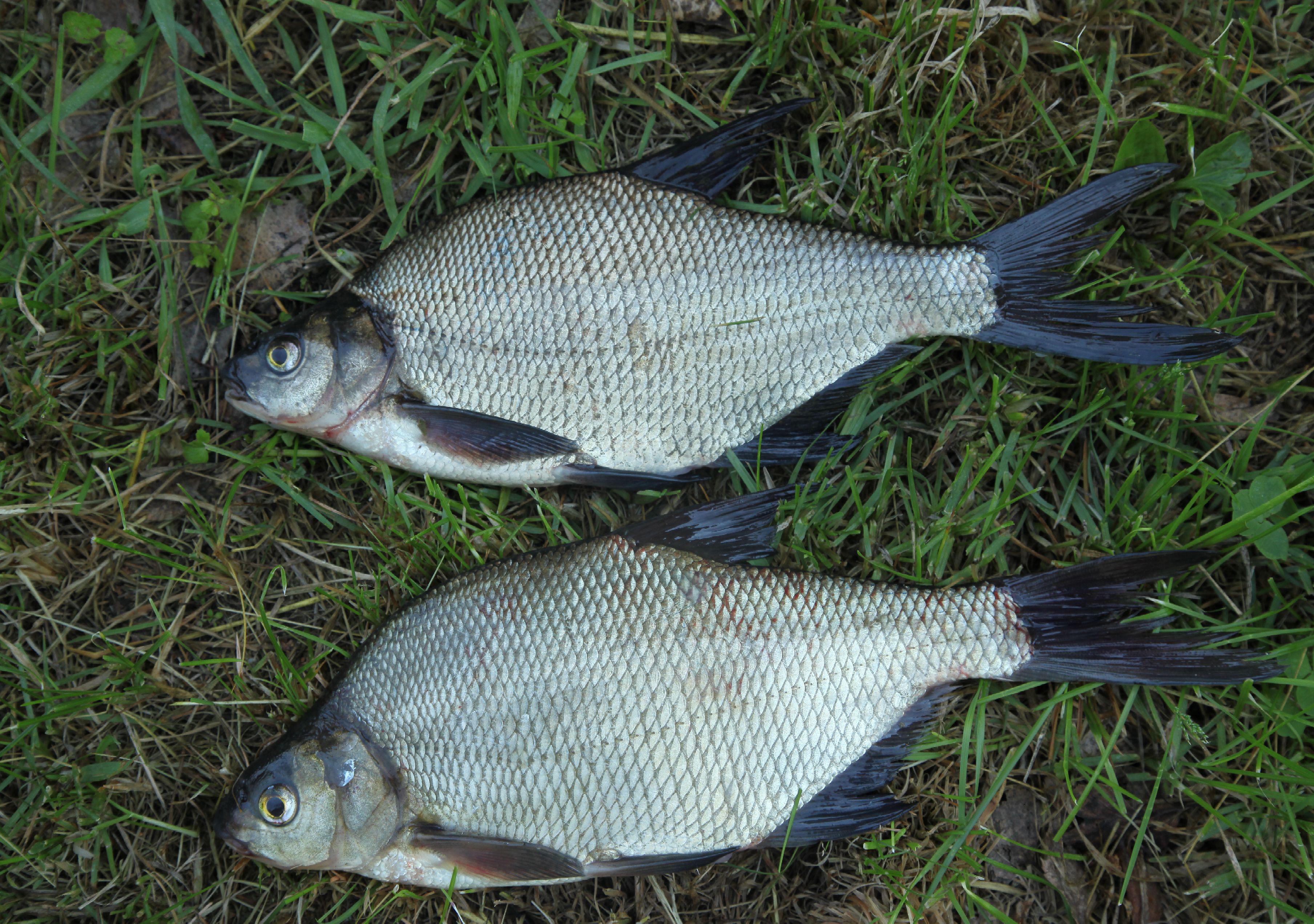 прикормка на белую рыбу фидером