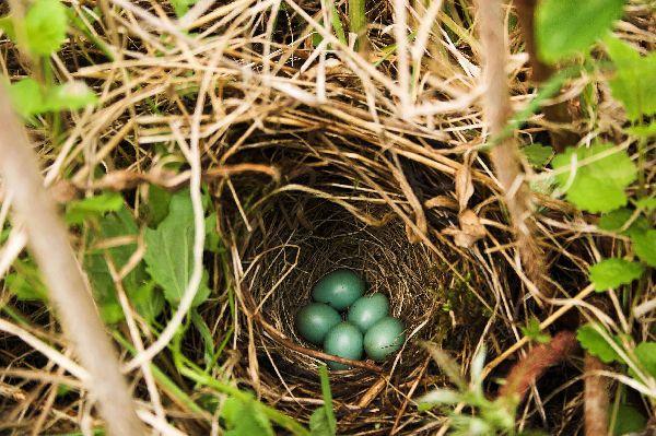 Гнездо соловья красношейки